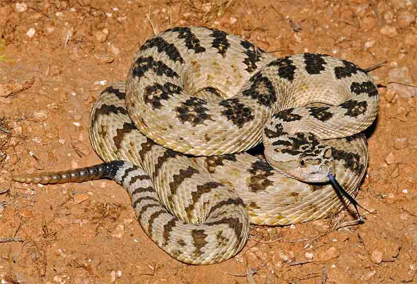 Rattlesnake Safety Tips Cedar Hills,Types Of Cacti With Pictures